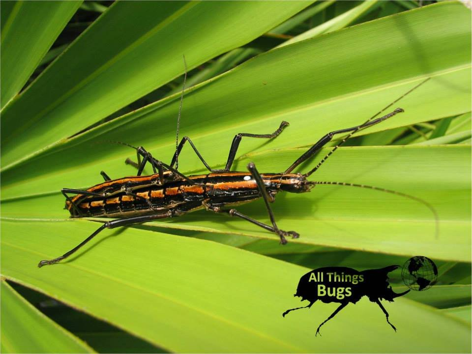 The rare ORANGE color form of the two-striped stick insect Anisomorpha buprestoides !