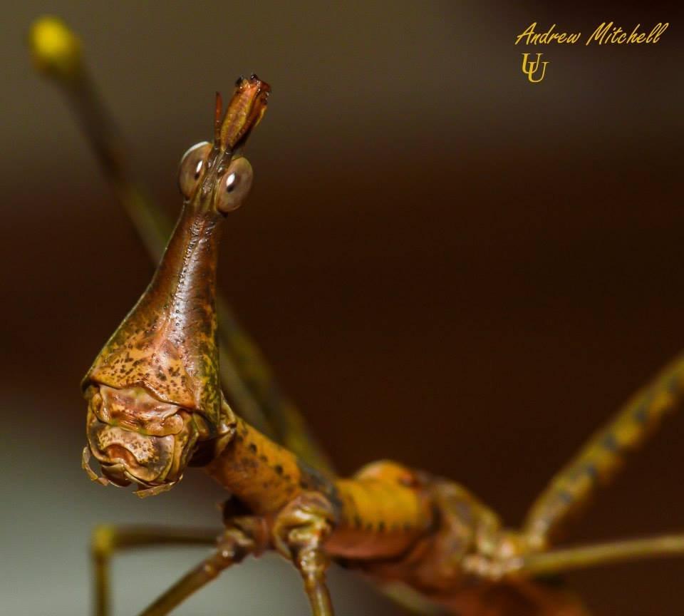 Pseudoproscopia latirostris (Horse-head grasshopper)