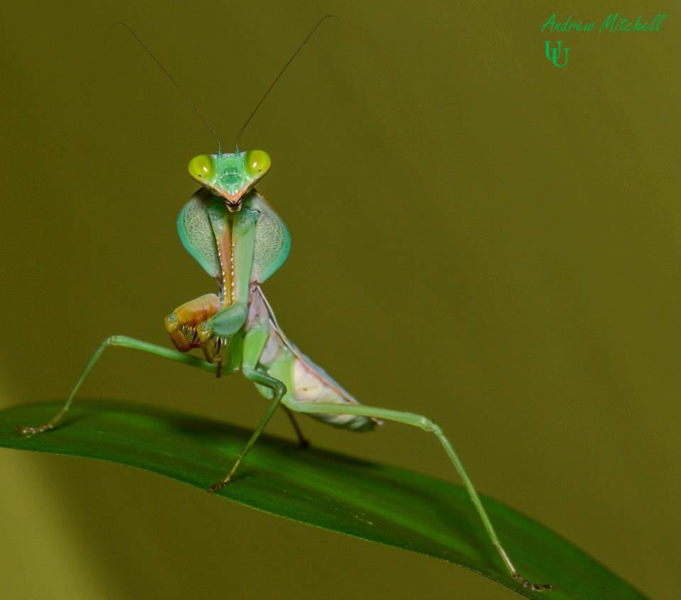 Rhombodera basalis (Giant Malaysian Shield Praying Mantis)