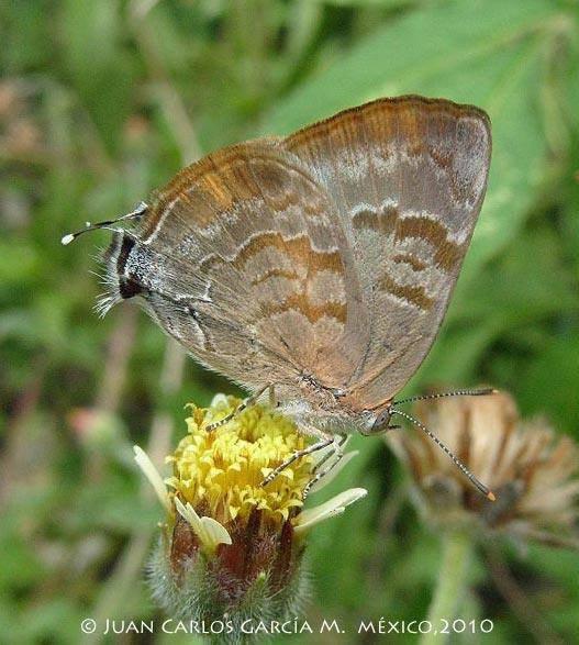 Rekoa palegon, Lycaenidae, Los Chimalapas rain forest, Oaxaca, MÉXICO.