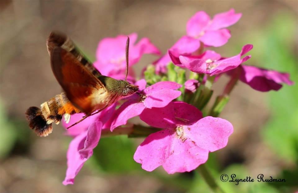 Macroglossum trochilus, Fam. Sphingidae, African Humming Bird Hawk moth, South Africa.