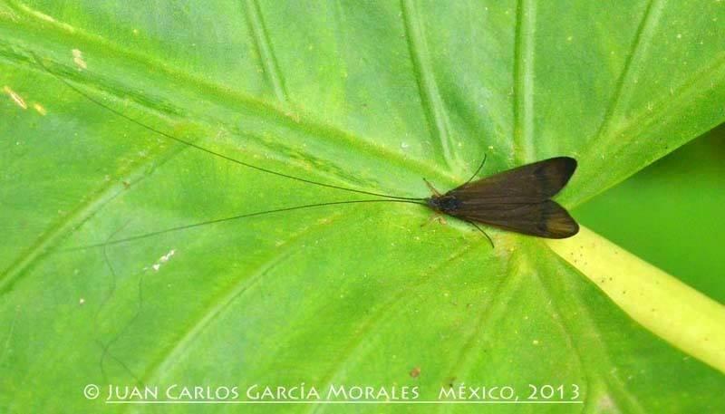 Small Moth with long antennae, Catemaco, Veracruz MÉXICO.