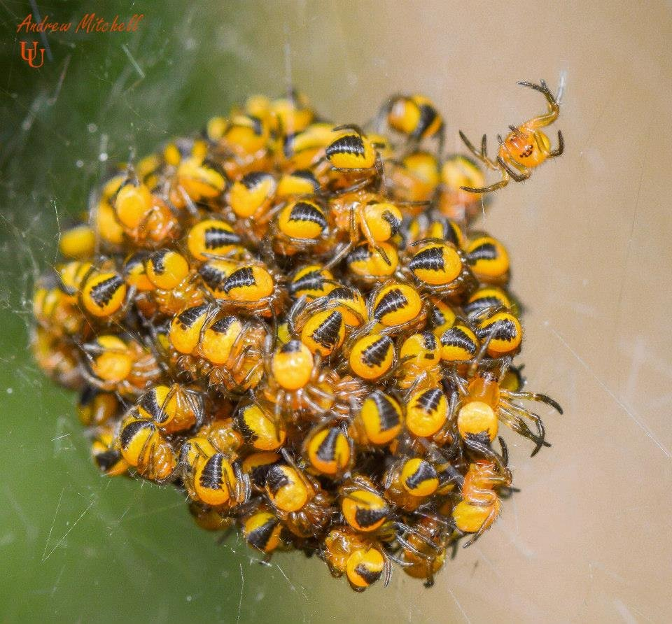 Araneus diadematus (European Garden Spider) - Spiderling nest.